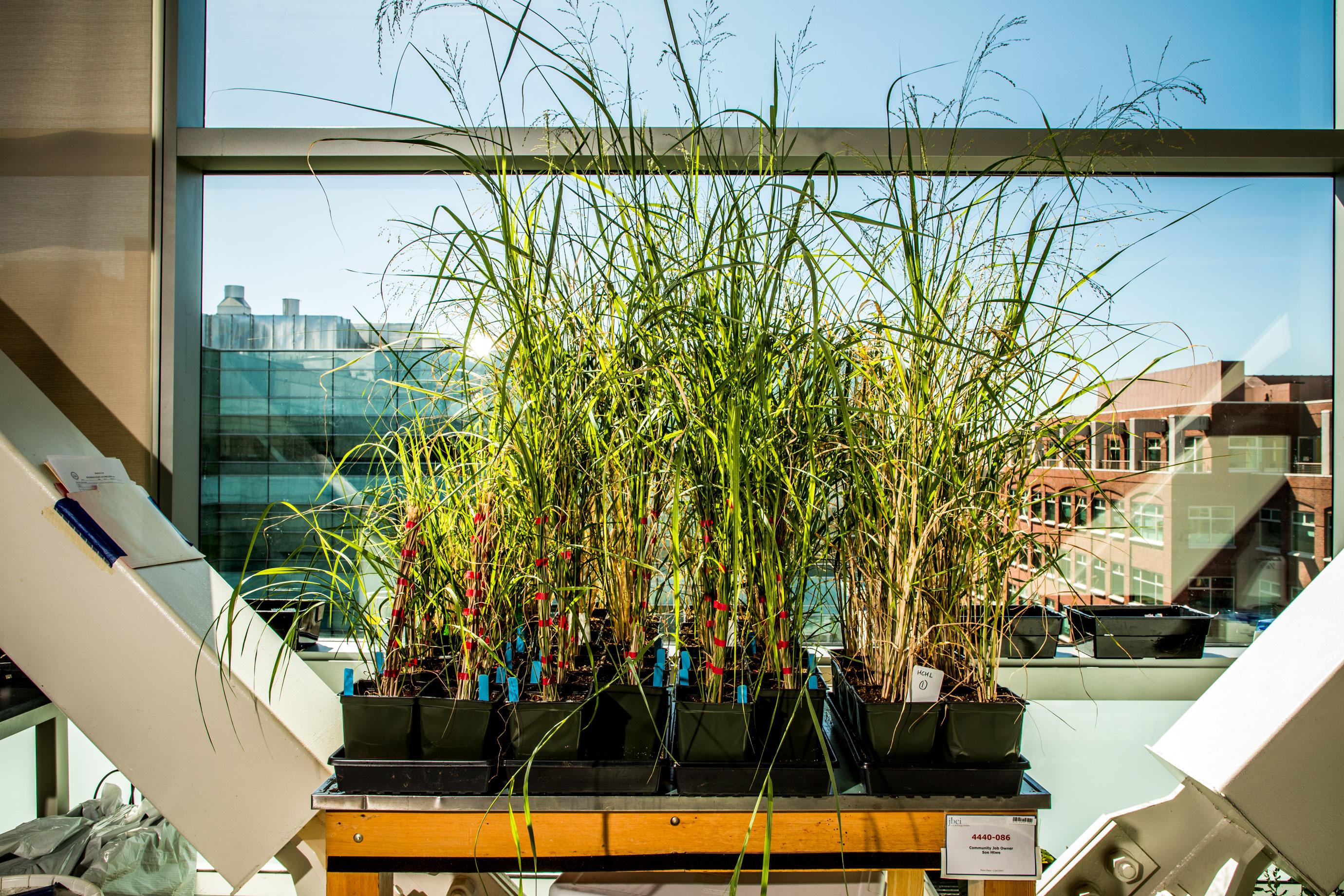 JBEI está desarrollando tipos de switchgrass y sorgo que producen muchos más azúcares y mucho menos lignina.