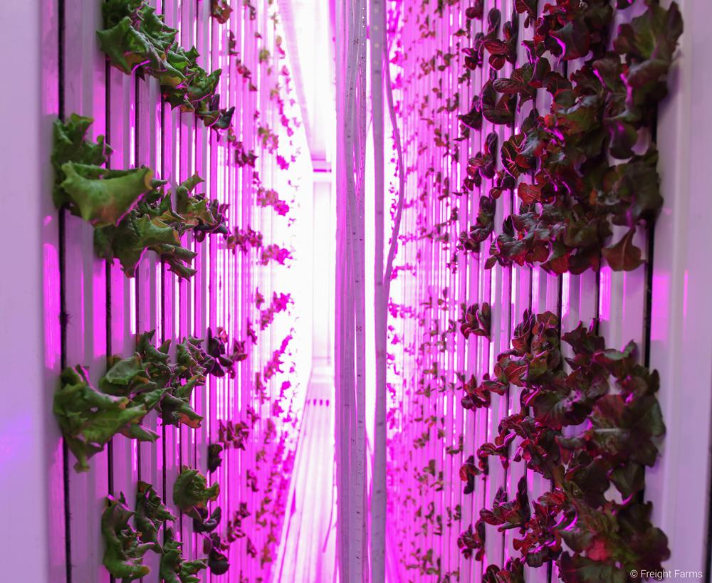 Los LED iluminan las hojas verdes dentro de la granja de contenedor de envío.