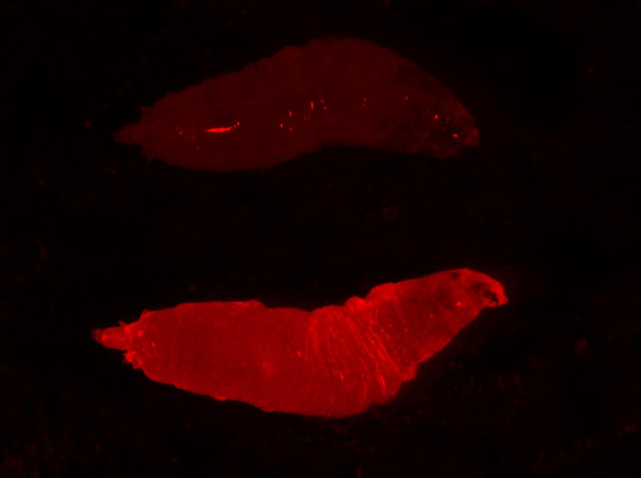 """La larva de una mosca de la fruta se ilumina en rojo. La marca fluorescente indica que ha heredado un """"impulso genético"""" o elemento genético egoísta de su madre."""