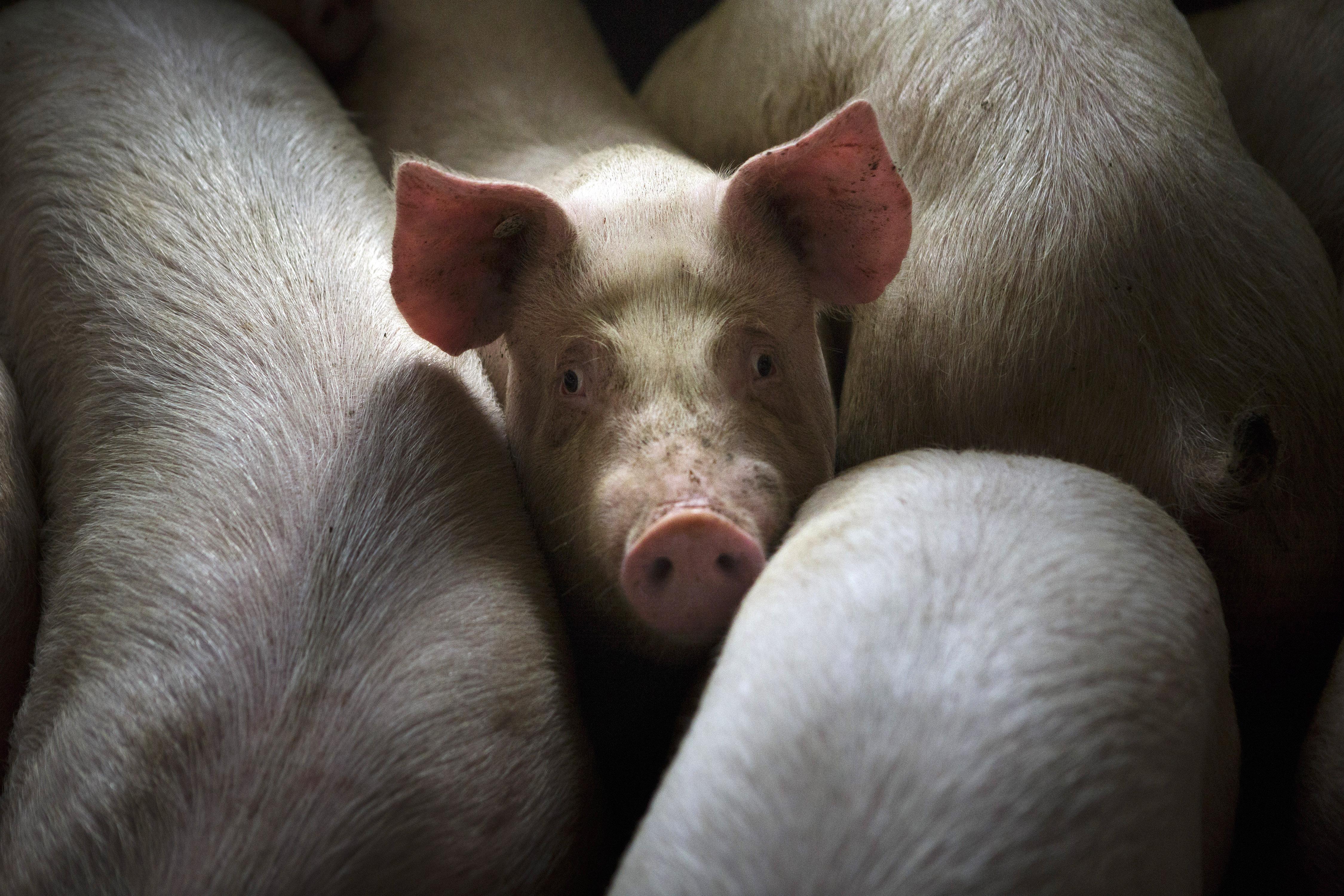 Los cerdos se utilizan comúnmente como modelos para la investigación de trasplantes. Un nuevo proyecto busca mantener sus cerebros después de la muerte.