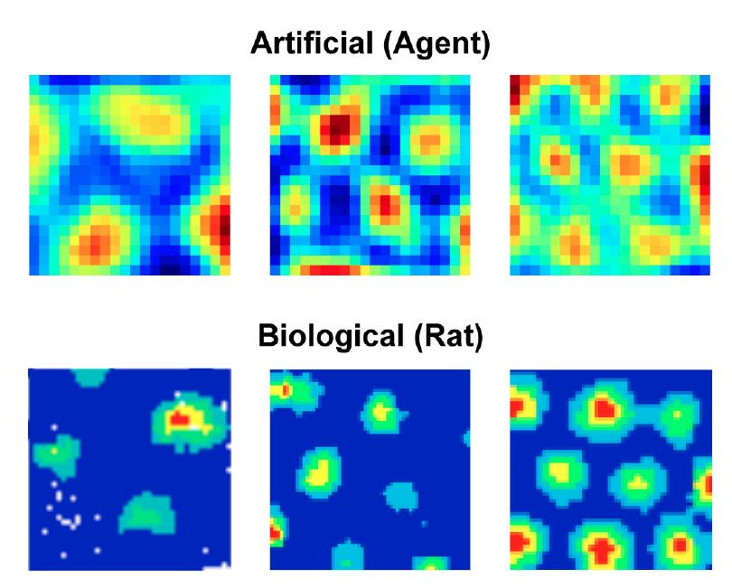 Se ven células parecidas a grillas en redes neuronales biológicas y artificiales.