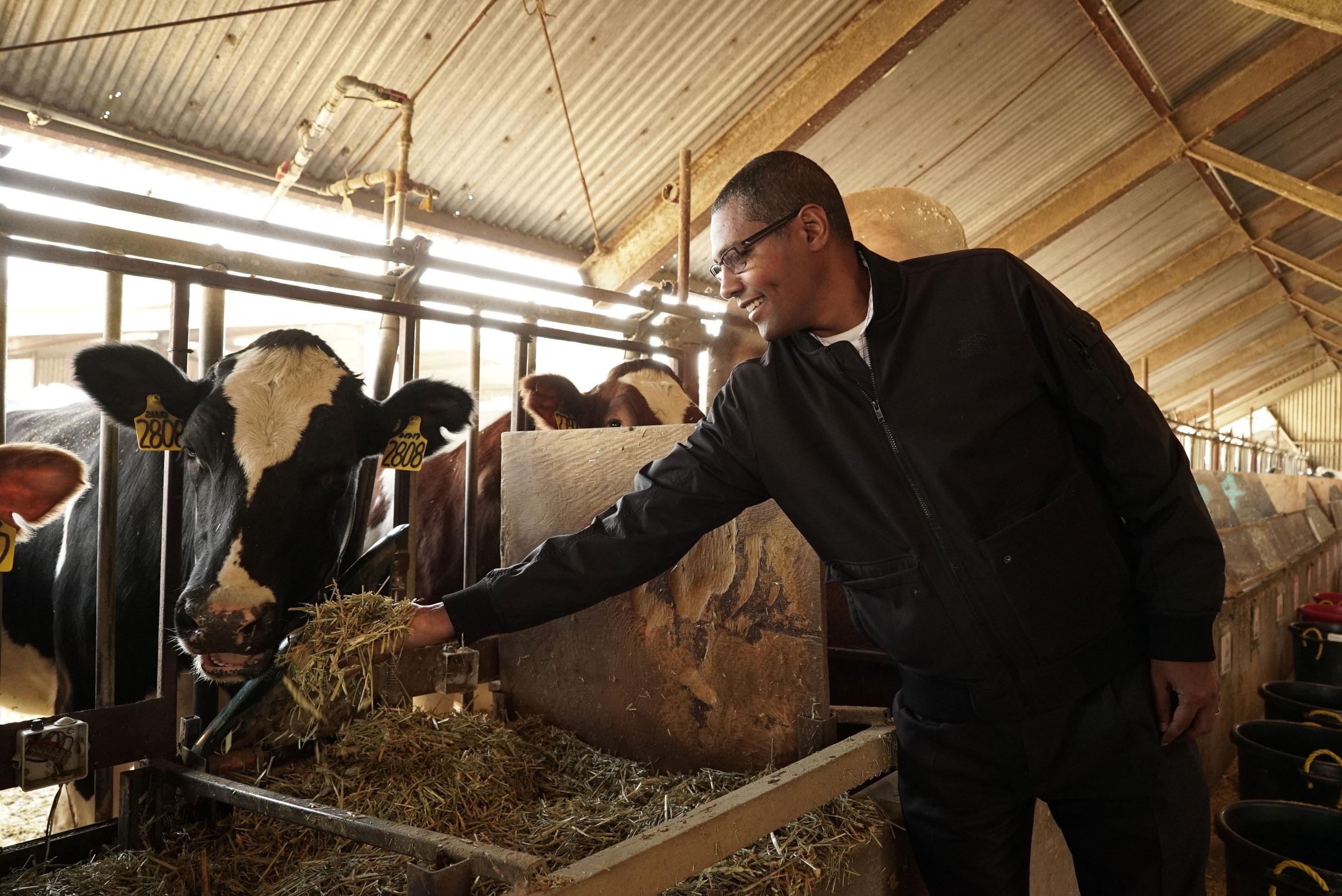 La profesora de UC Davis, Ermias Kebreab, alimenta a una vaca en el campus.