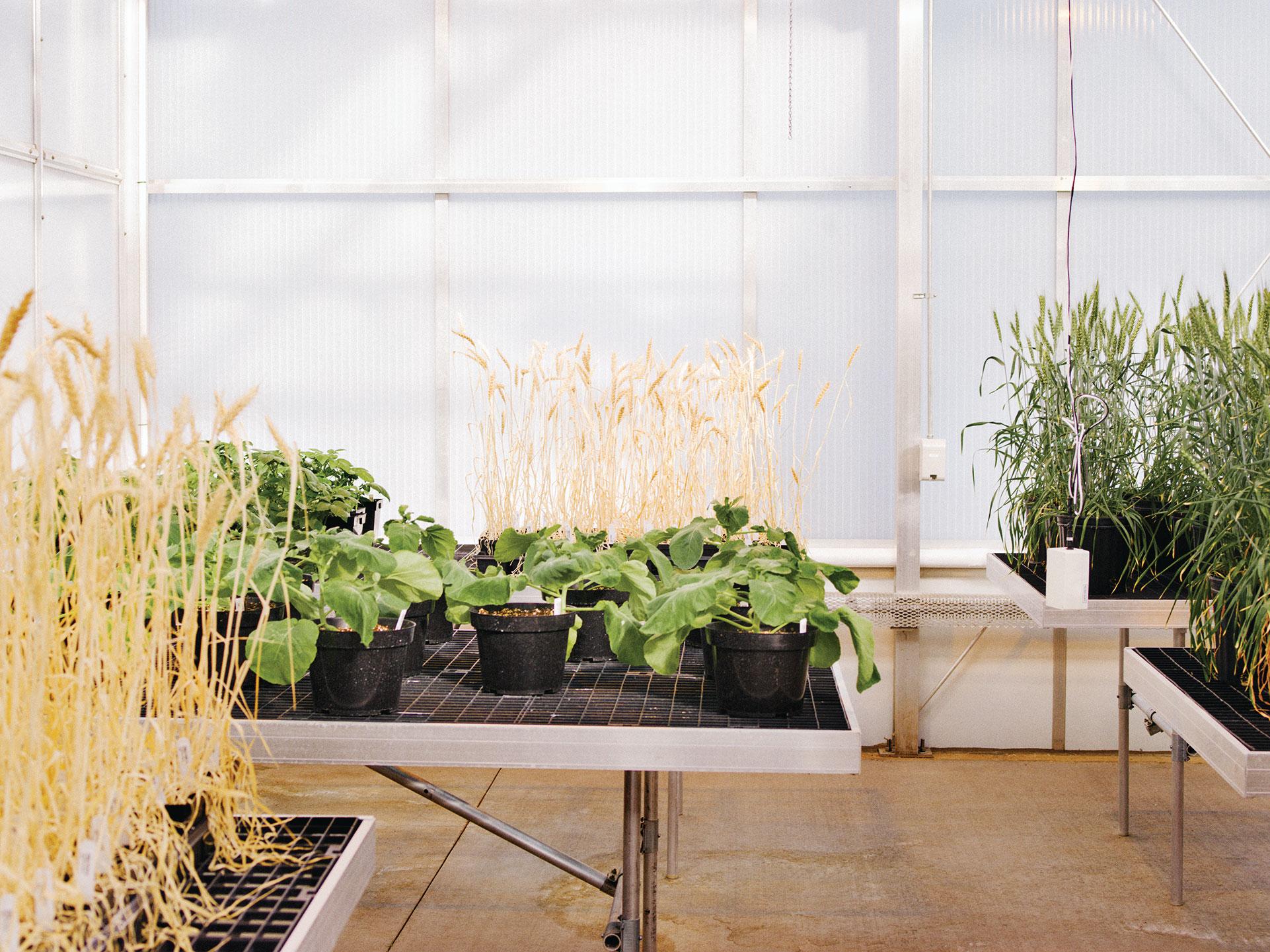 Las plantas de diseño crecen bajo luz artificial en el invernadero de Calyxt, una empresa de edición de genes en Minneapolis.