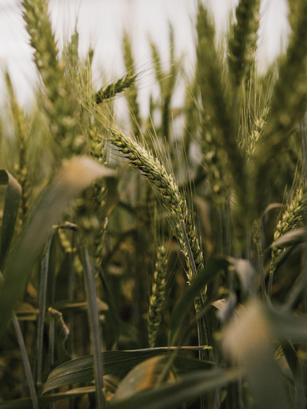 Editar un gen hace que el trigo resista el moho.