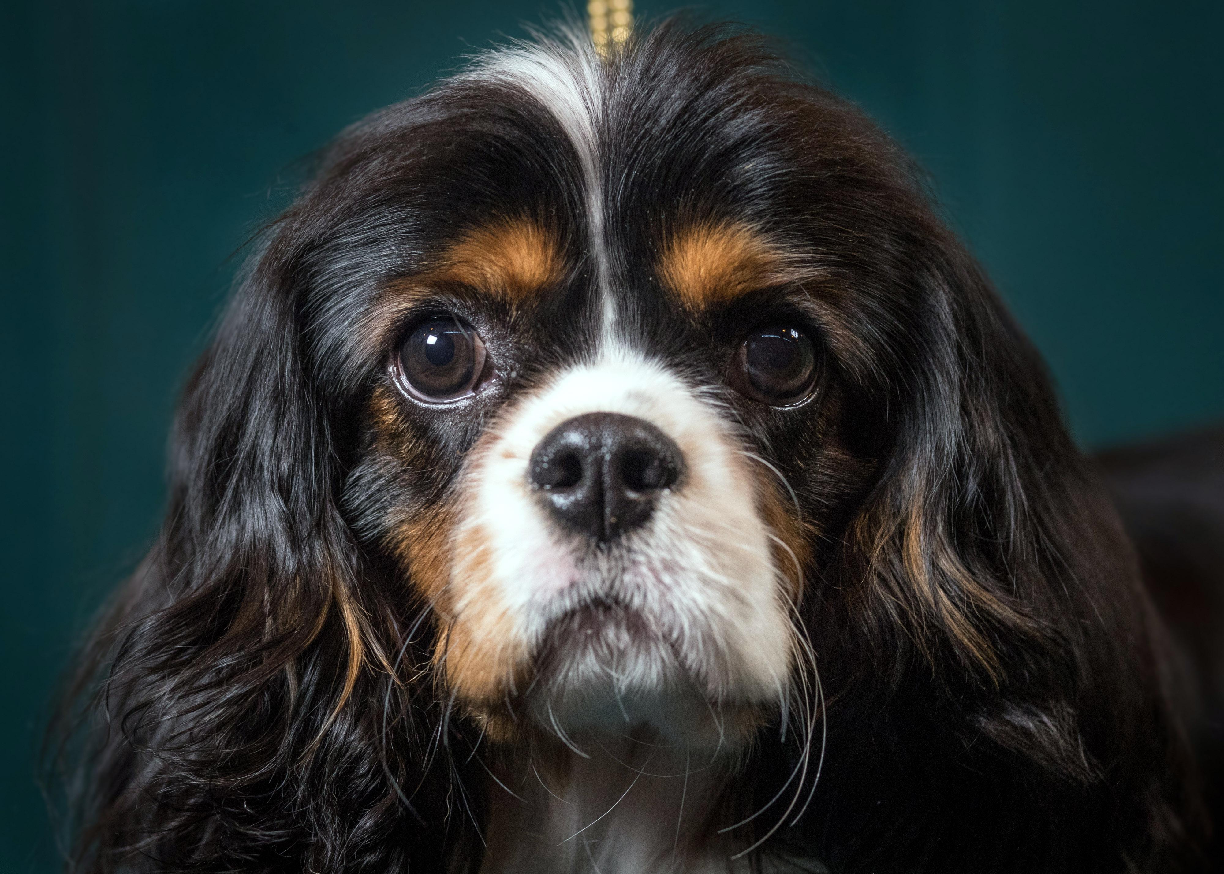Un Cavalier King Charles Spaniel. La adorable raza está plagada de una condición genética del corazón que los científicos están tratando de revertir.