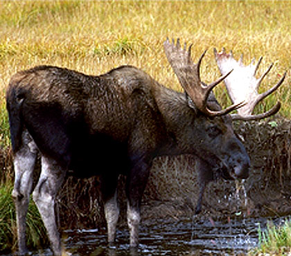 Adult Moose Drinking From The Saco River In Albany