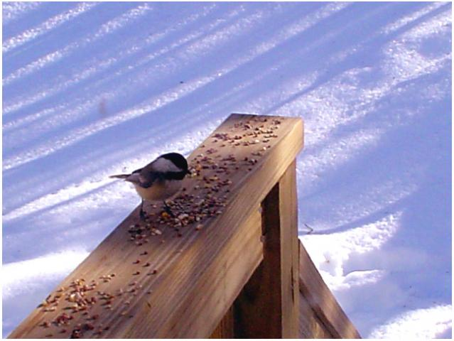 Winter Chicadee Feeding, Hiram, ME