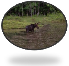 Local Moose photo by RE/MAX Presidential Agent Bill Jones