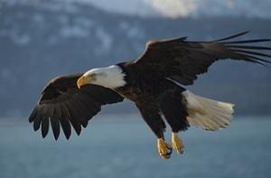 Vermont Bald Eagle