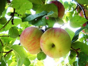 Vermont Heirloom Apples