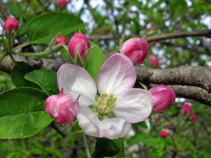 Apple Blossoms in Shelburne, Vermont. Heavenly.