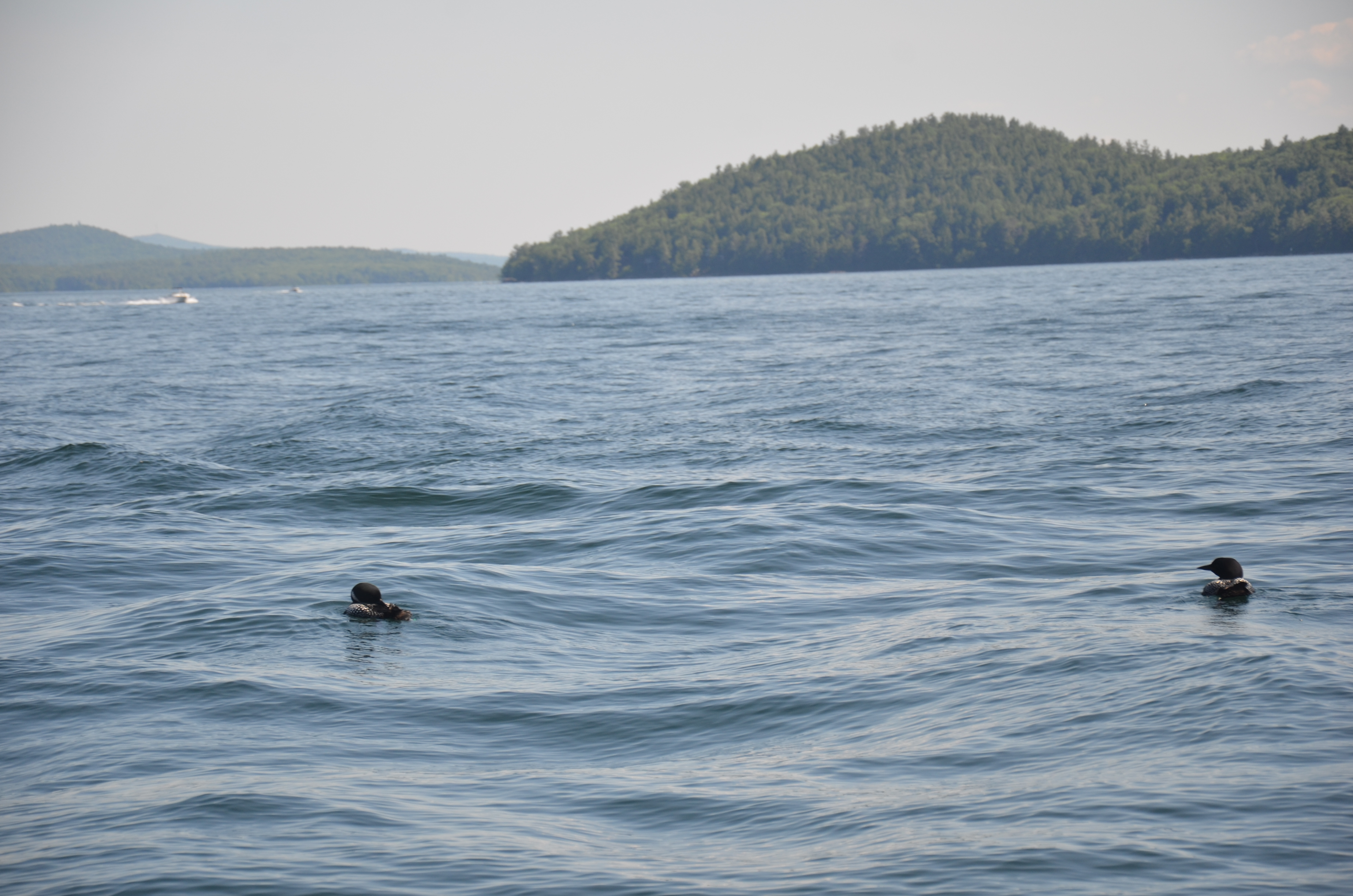 2 loons ride the large weekend waves on Winnipesaukee.