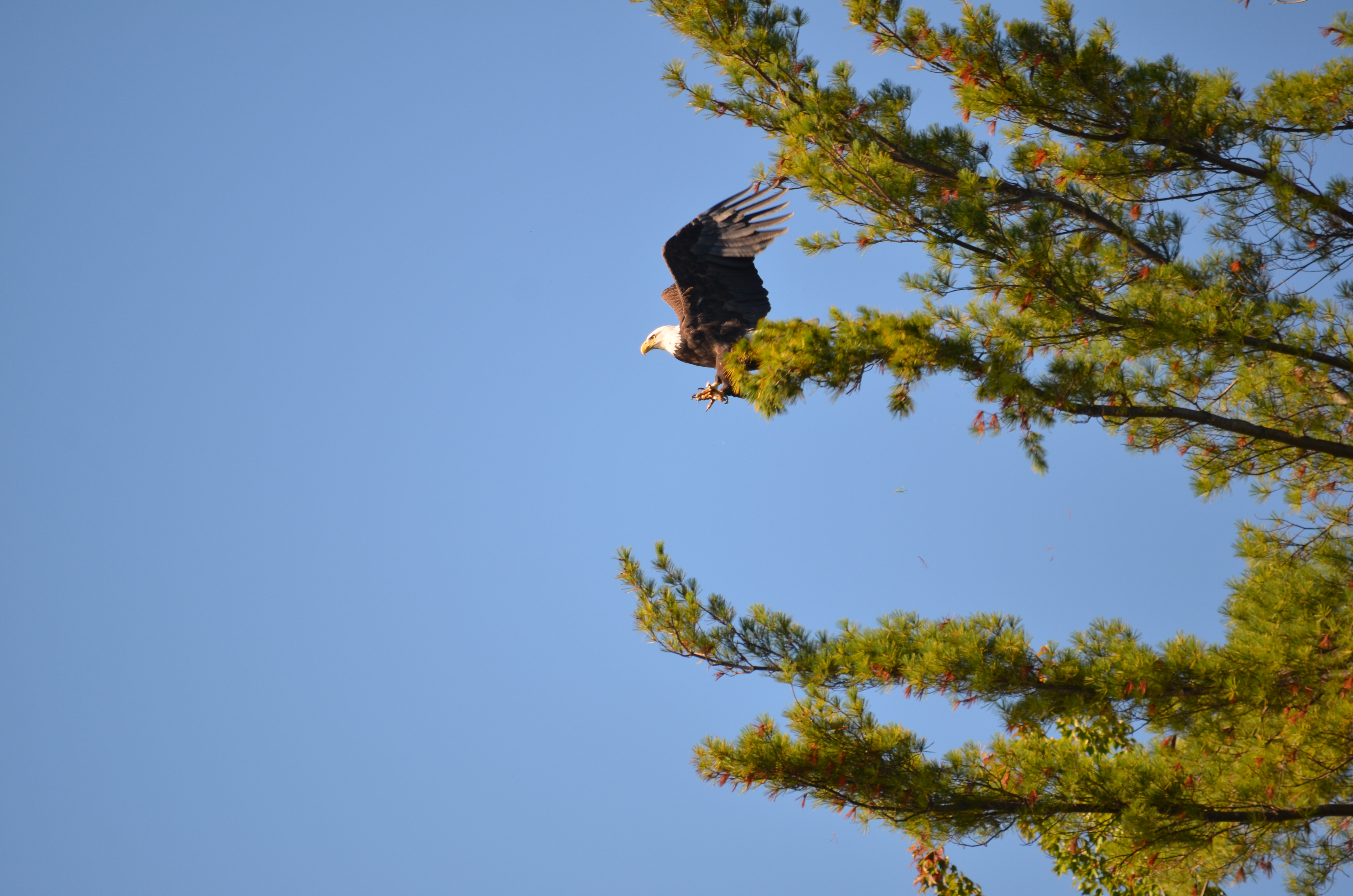 Bald Eagle About to Fly Near 125 Windermere Road, Moultonborough, NH