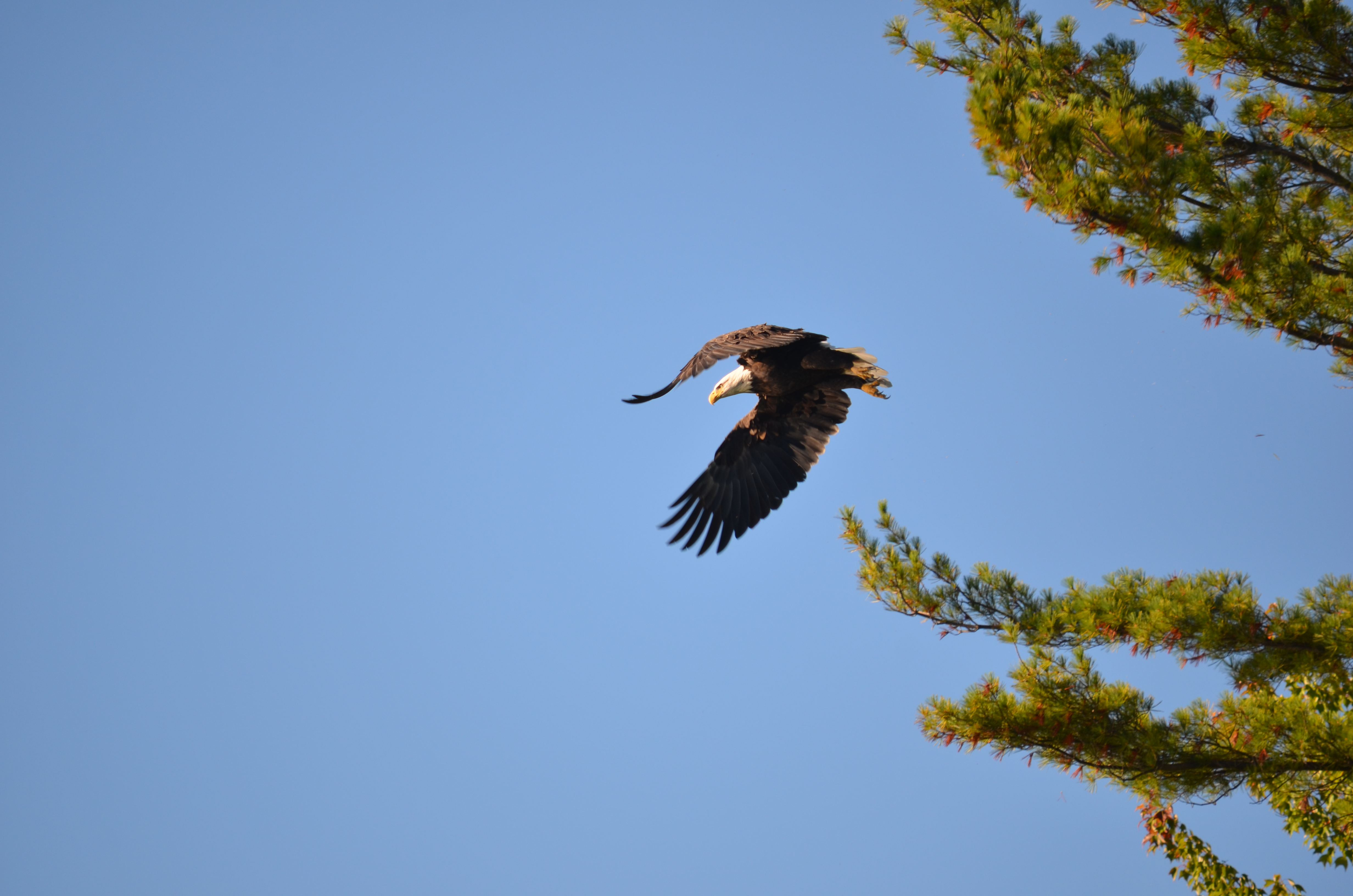 Flying from a tall tree on Winnipesaukee, the Bald Eagle is a stunning site!