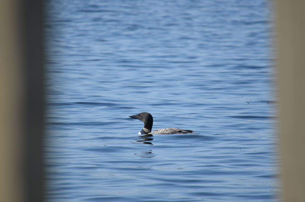 Loon near senter cove