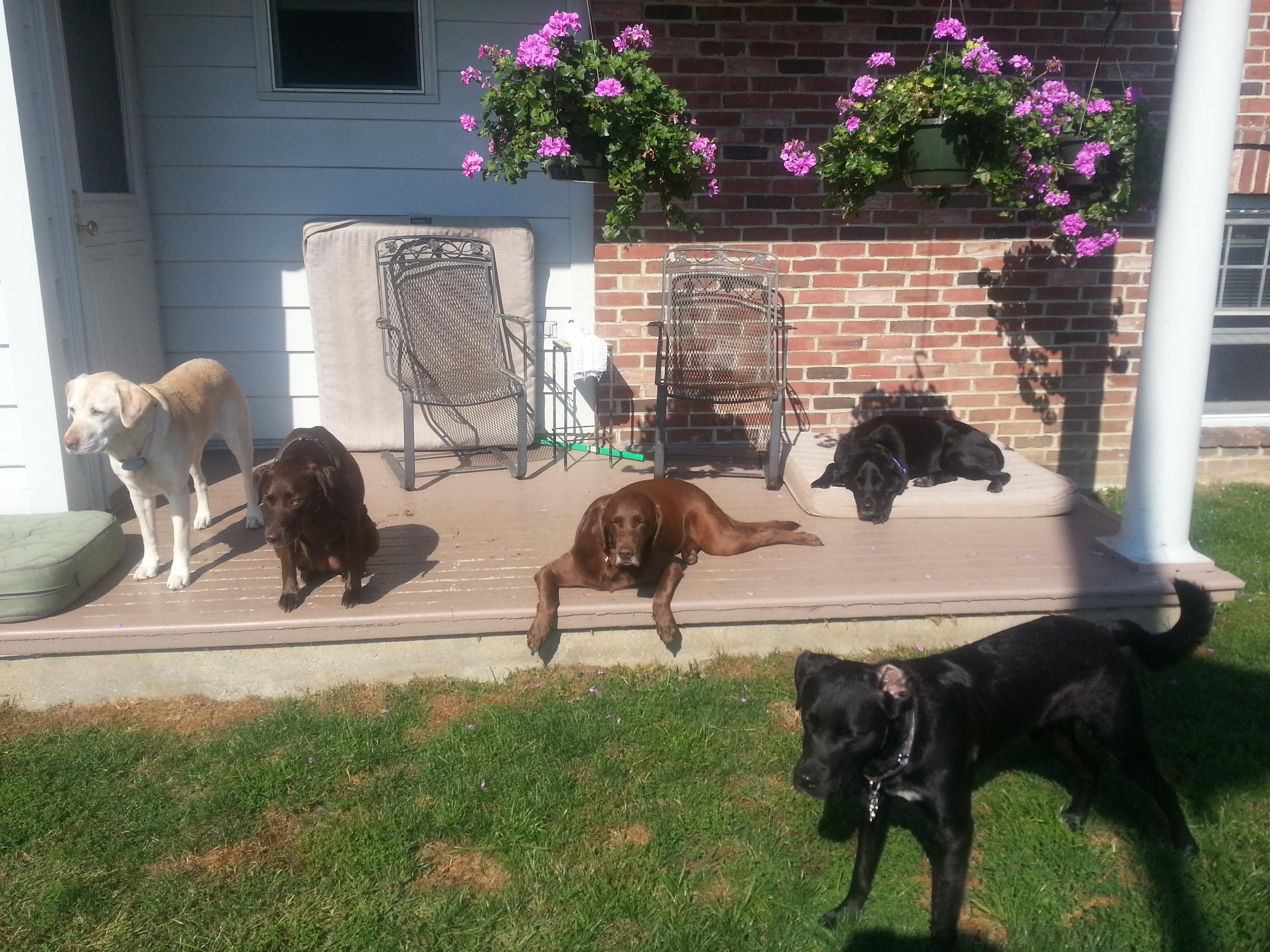 Lab Camp with Nellie, Lola, Ruby, Dozer and Malcom