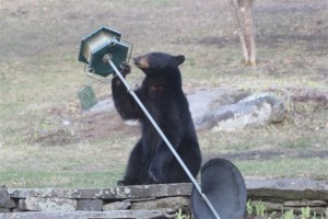 Bear in Woodstock VT