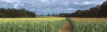 Roxbury CT Corn Field