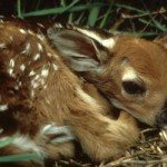 white_tailed_deer_fawn_WJBerg_USFWS