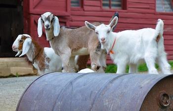 Leicester Farm Goats