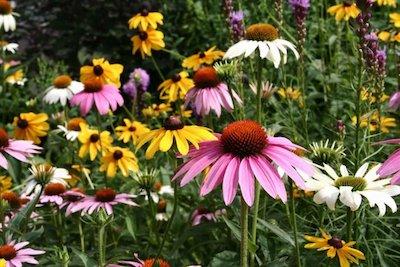 Native Perennials for Easy Gardening