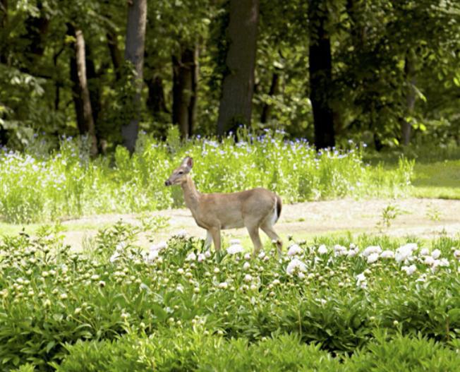 Deer in flower garden