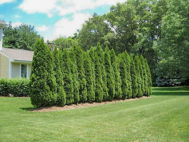 Midsize Arborvitae in yard