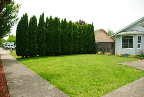 Giant Arborvitae in yard