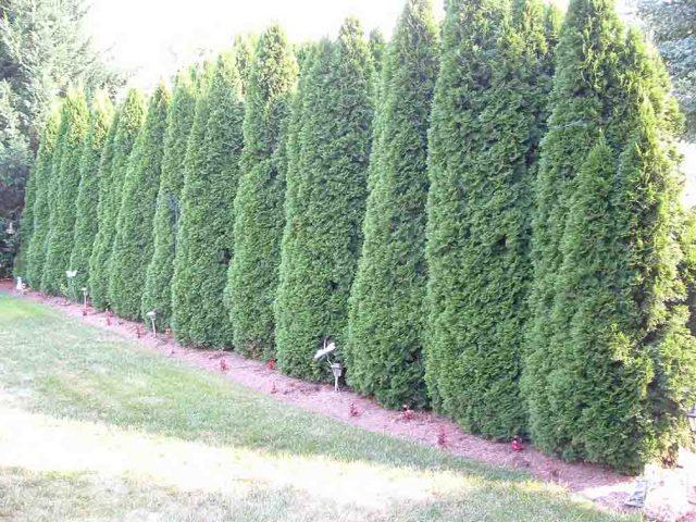 Cypress in yard