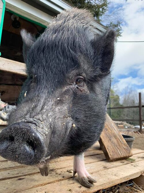 momo-the-potbellied-pig