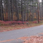 Flock of Eastern Wild Turkeys in Tuftonboro New Hampshire