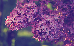 Deep Purple Lilacs