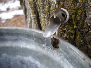 maple tree tap