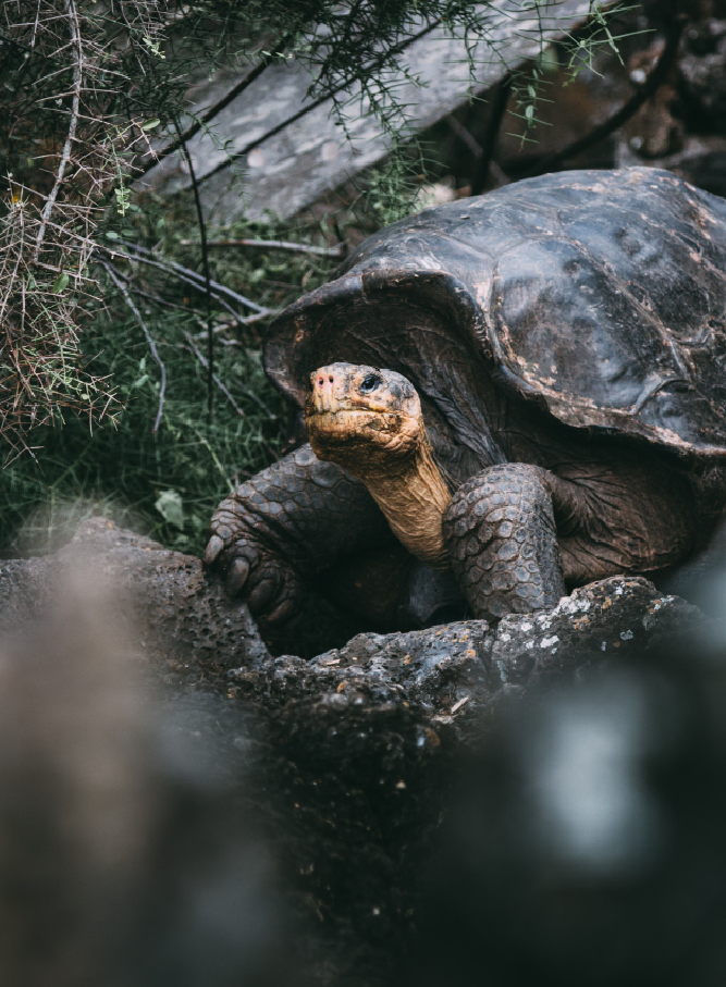 Gal�pagos Giant Tortoise