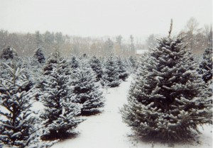 christmas tree farm in snow