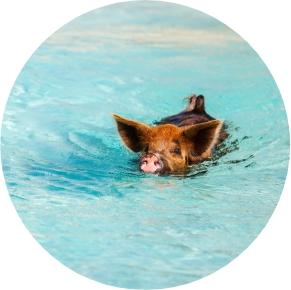 Pig Swimming