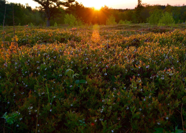 blueberries western massachusetts burnt hill farm