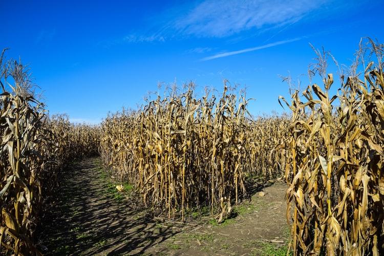 corn maze fall western mass