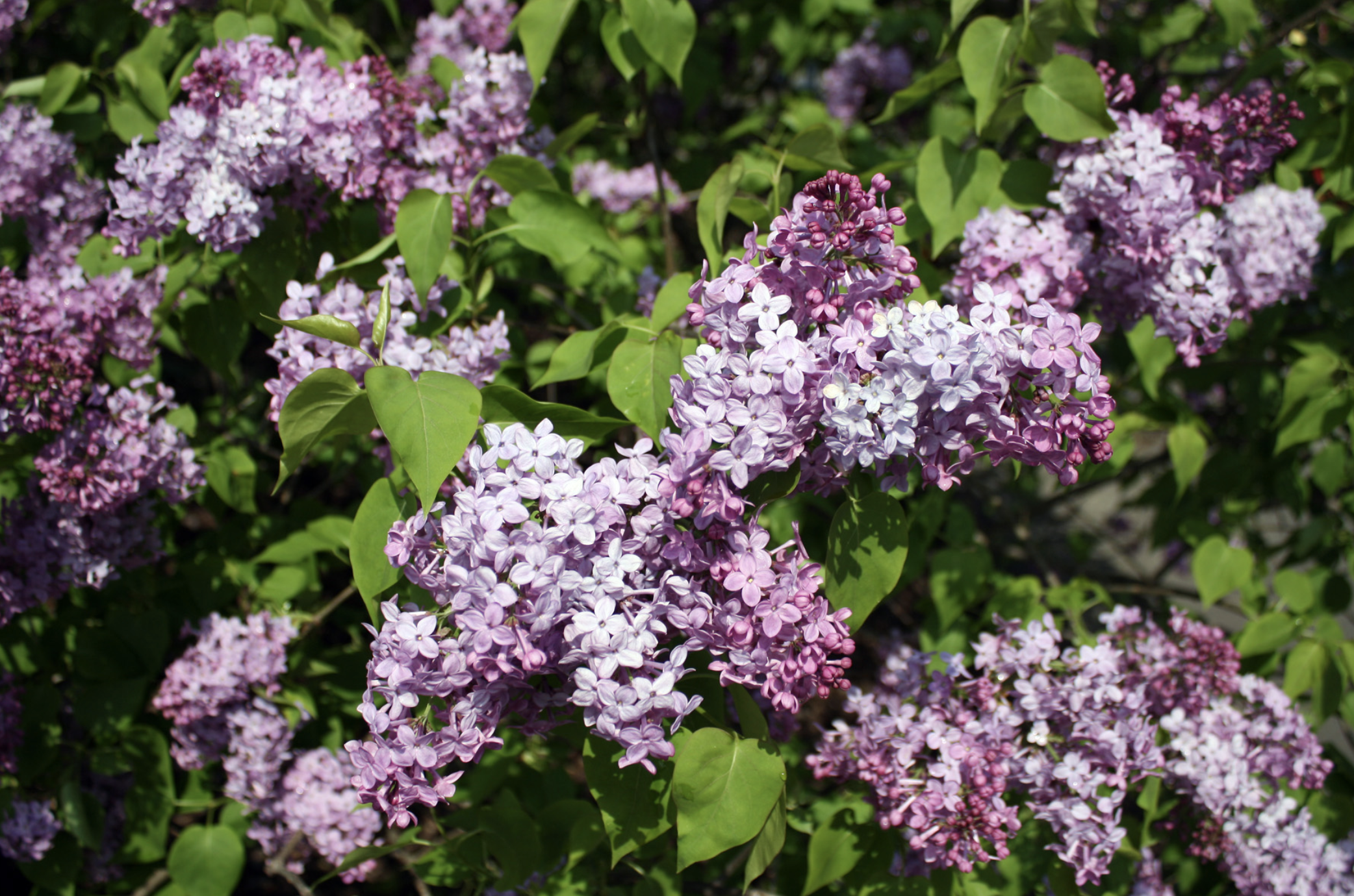 Lilacs Light Up the Arboretum