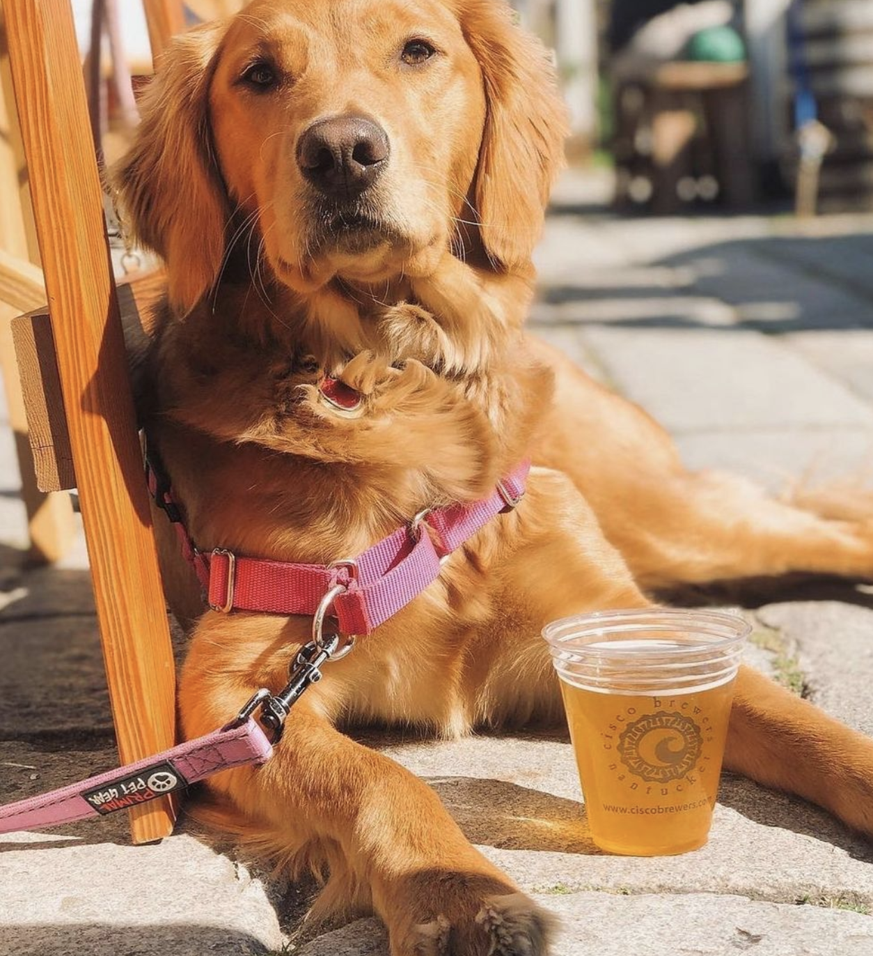 Dog next to a Cisco beer