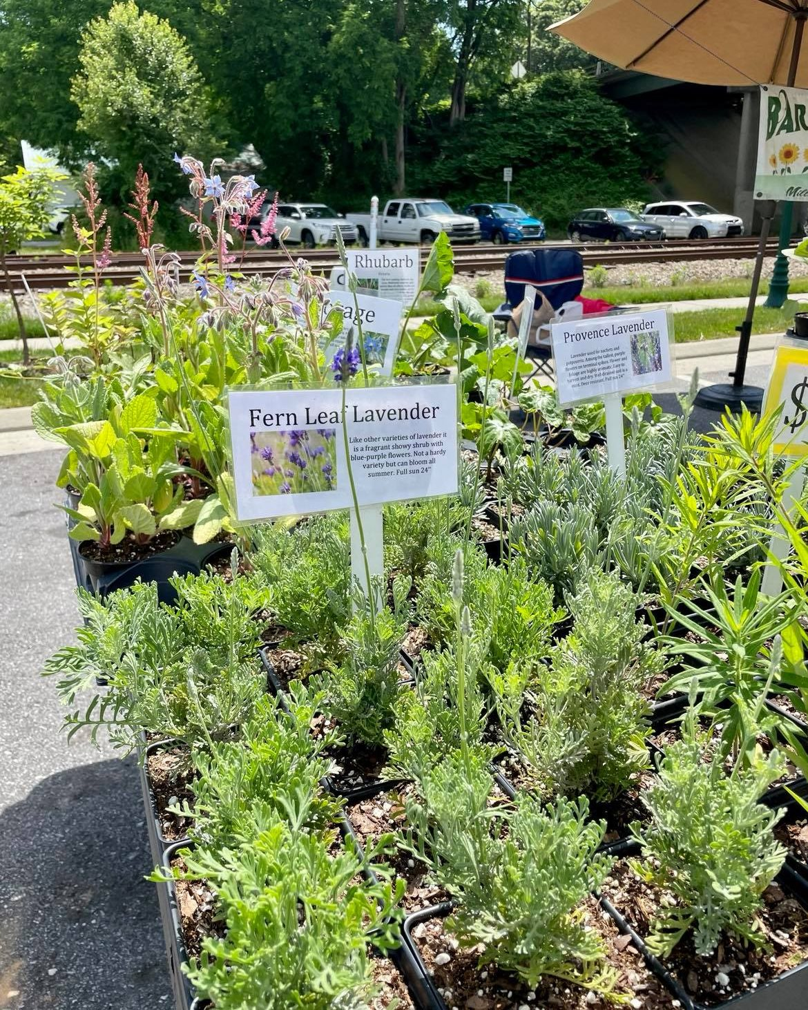 Potted herbs for sale at Hendersonville Farmers Market