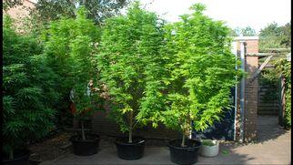 6essentialtipsforgrowingmarijuanaoutdoors5080