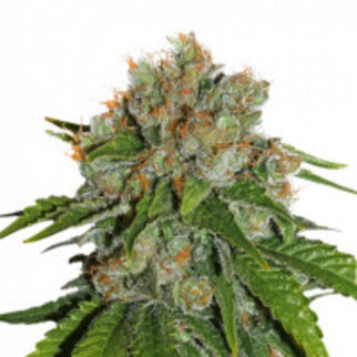 amnesiaautocannabisseedsbyseedstockers7693