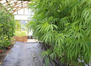 bestdenvercannabisoperations3617