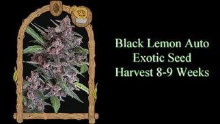 blackcannabisstrainguide6992
