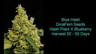 bluecannabis6991