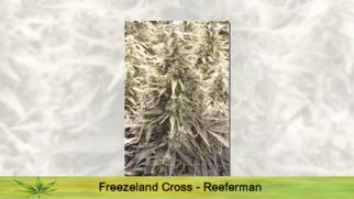 cannabisstrainsseriesfcannabisstrains6985