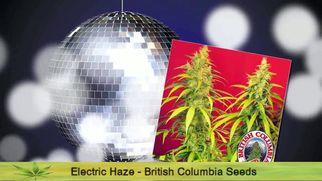 ecannabisstrainscannabisstrainseries6986