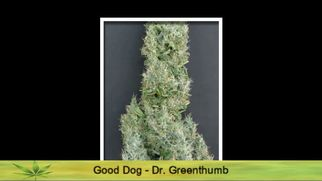 gcannabisstrainsacannabisstrainseries6996