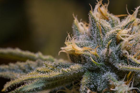gorgeouscannabisplant3758